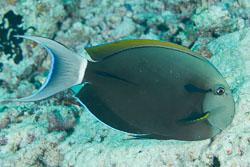 BD-130714-Maldives-0641-Acanthurus-nigricauda.-Duncker---Mohr.-1929-[Epaulette-surgeonfish].jpg